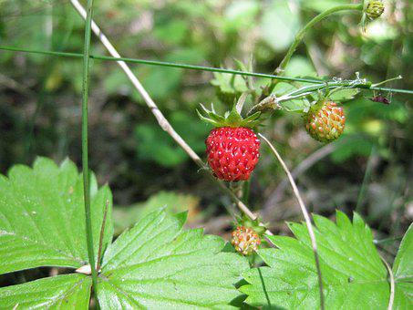 Strawberry, Summer, Wild, Nature, Berries, Fruits, Red
