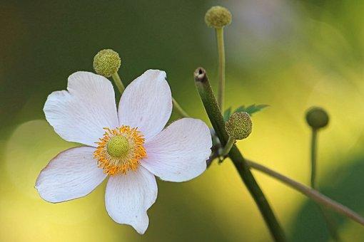 Anemone, Fall Anemone, Blossom, Bloom, Garden Plant