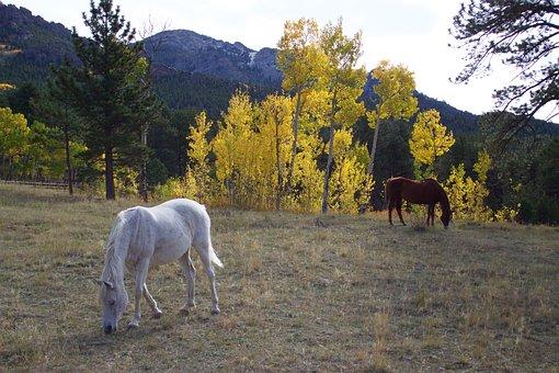 Horses, Aspen, Mountain, Western, Pasture, Colorado
