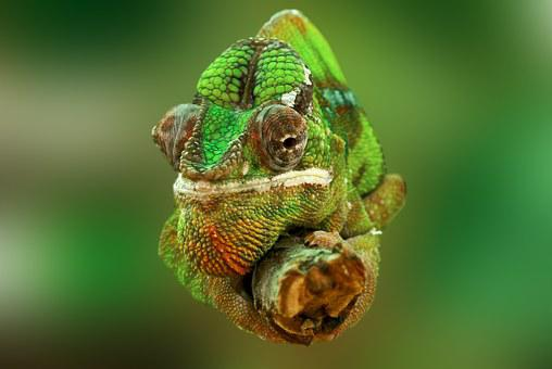 Chameleon, Reptile, Lizard, Green, Animal, Insect Eater