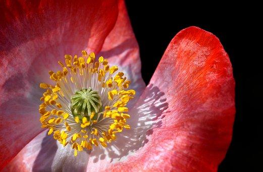 Poppy, Poppy Flower, Macro, Close, Pollen, Stamp