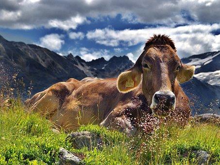 Cow, The Alps, Mountains, Rest, Clouds, Landscape