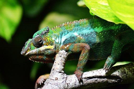 Chameleon, Lizard, Multi-coloured