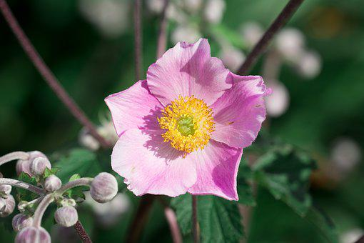 Anemone, Pink, Fall Anemone, Ornamental Plant