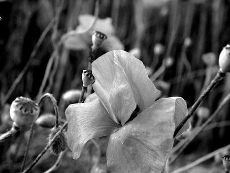 Poppy, Poppies In The Field, Mohnfeld