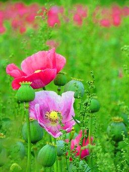 Poppy, Blossom, Bloom, Poppy Flower, Opium Poppy, Pink