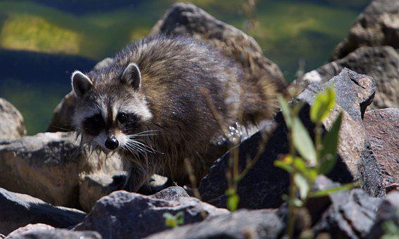 Raccoon, Wildlife, Cute, Fur, Mask, Animal, Bandit