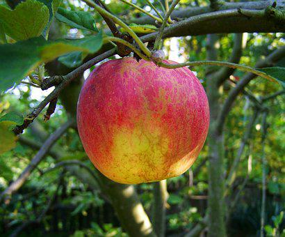 Apple, Ripe Fruit, Red And Yellow Apple