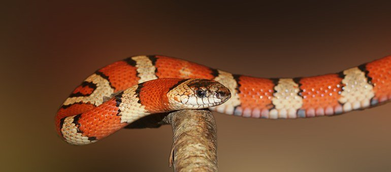 King Snake, Snake, Banded, Red, Black, Colorful