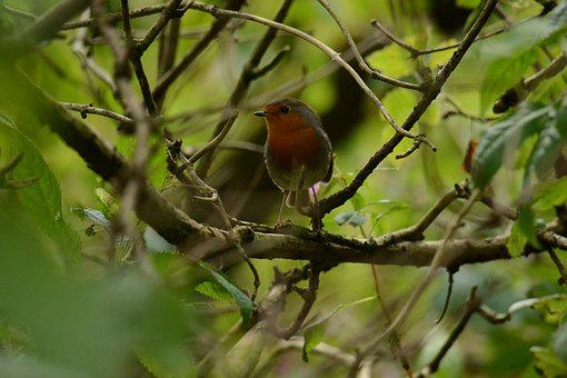 Robin, Nature, Fowl, Animal, Twig, Natural, Red, Bird