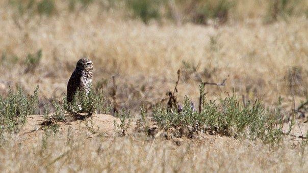 Owl, Ground, Brown, Wildlife, Burrowing, Standing
