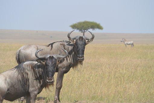 Wildebeests, Animal, Wild, Wildlife, Mammal, African