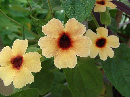Thunbergia, Alata, Spanish, Eyes, Flower, Bloom, Garden