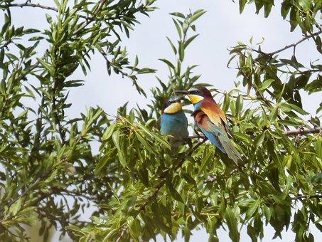 Almond Tree, Couple, Bee-eater, Bird, Colors, Abellarol