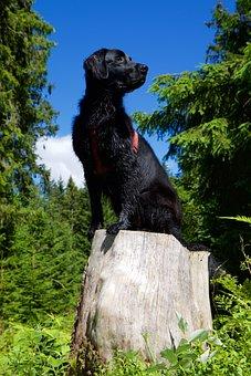 Flat Coated Retriever, Dog, Animal