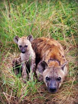 Hyena, Puppy, Animal, Africa, South Africa