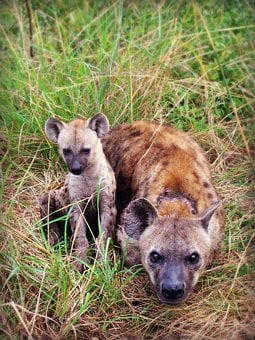 Hyena, Puppy, Animal, Africa, South Africa