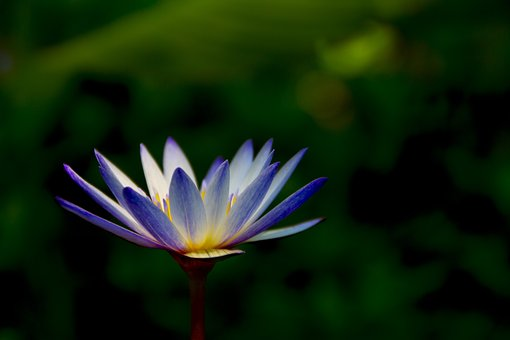 Artistic Conception, Flower, Lotus, Light, Pond
