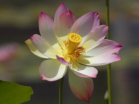 Lotus Blossom, Flower, Nature, Flora, Beautiful, Color