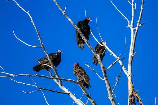 Turkey Vulture, Raptor, Scavengers, Bird, Vulture
