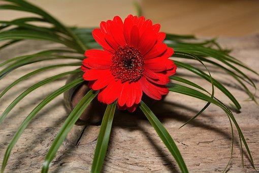 Gerbera, Flower, Blossom, Bloom, Red, Grass, Decoration