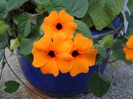 Brown Eyed Susanne, Susanne, Flower, Flowers, Orange