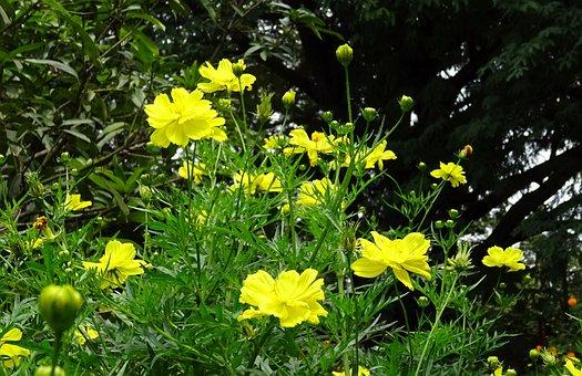 Flower, Cosmos, Cosmos Sulphureus, Sulfur Cosmos