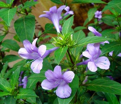Crested Philippine Violet, Flower, Philippine Violet