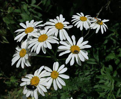Flowers, Daisy, Nature, White, Floral, Blossom, Summer