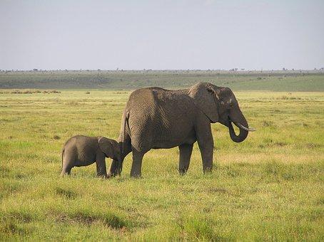 Elephant, African Bush Elephant, Africa, Wilderness