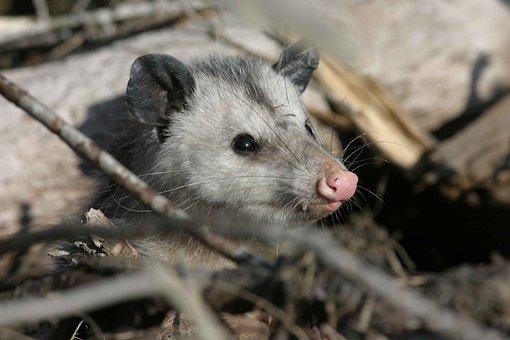 Virginiana, Didelphis, Animal, Opossum, Animals, Fauna