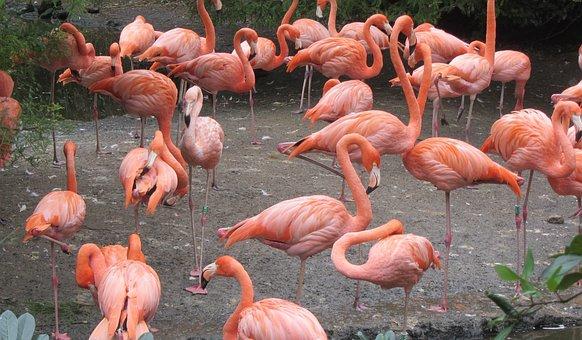 Flamingo, Pink Flamingo, Pink, Bird, Group Of Birds