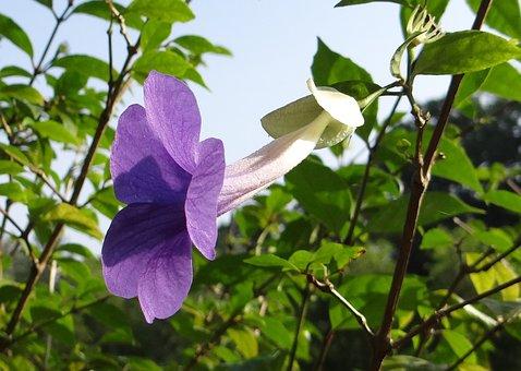 Bush Clock Vine, King's Mantle, Flower, Blue