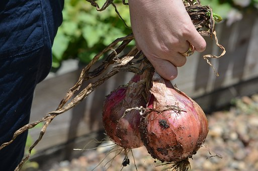 Onions, Cut, Fresh, Vegetable, Veggie, Garden, Food