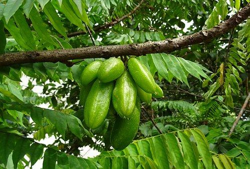 Bilimbi, Fruit, Averrhoa Bilimbi, Cucumber Tree
