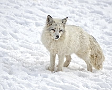 Arctic Fox, Mammal, Fox, Wildlife, Wild, Nature, Fur