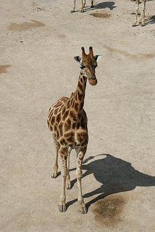 Giraffe, Baby Giraffe, Savanna