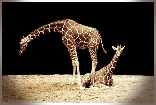 Giraffe, African, Animal, Big, Brown, Giraffes, Mammal