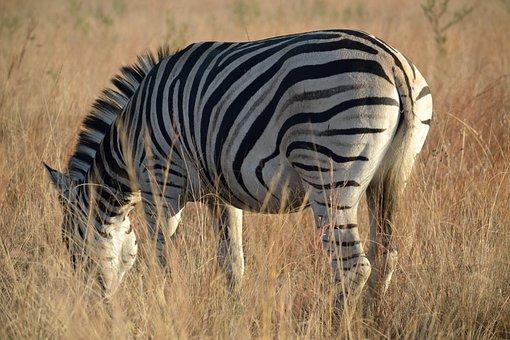Zebra, Grazing, Wildlife, Africa, Nature