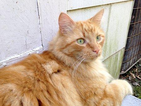 Ginger Cat, Green Eyes, Feline, Fur, Orange, Kitty