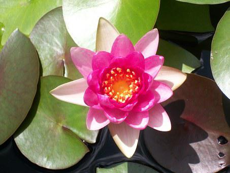 Lotus, Lily Pad, Nature, Lily, Flower, Green, Plant