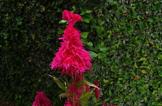 Cockscomb, Flower, Flora, Lalmurga, Haolei, Kozhi Poo