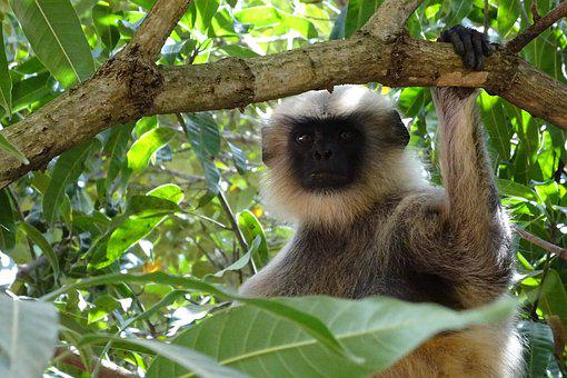Monkey, Langur, Animal, Gray Langur, Hanuman Langur