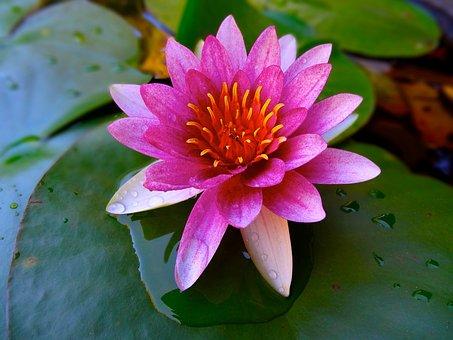 Lotus, Pond, Water Lily, Leaf Of Nelumbo Nucifera