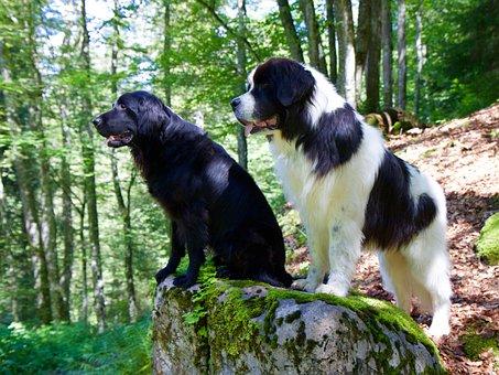 Flat Coated Retriever, Landseer, Dog, Animal, Nature