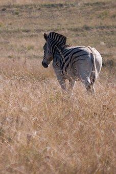 Zebra, Africa, Wild Life, Animal, Wild, Nature, Mammal