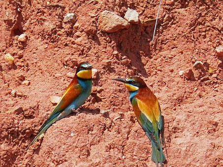 Bee-eater, Pair Of Bee-eaters, Ave, Colorful, Mud Wall