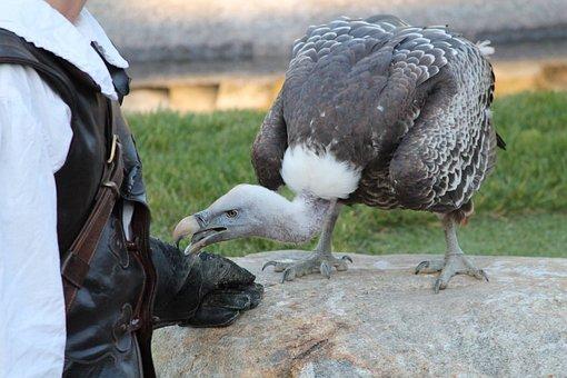 Condor, Bird, Raptor, Falconry, Locarno, Switzerland