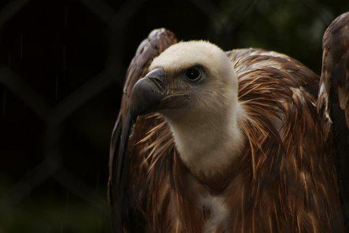 Vulture, Condor, Animal, Bird, Animals, Raptor, Birds