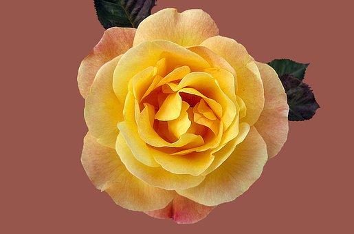 Rose, Floribunda Münchner Heart